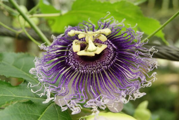 floarea patimilor, passiflora incarnata proprietati , beneficii, mod de utilizare si contraindicatii